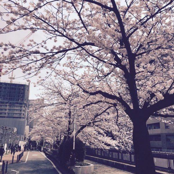 ☆横浜の桜はまだまだ咲いてます☆
